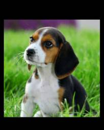 Lindos bebês Beagle para presentear