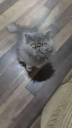 Gato persa disponível  para cruza