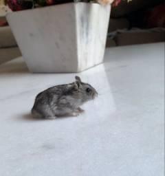 4 Hamster Russo, gaiola, comedouro e bebedouro
