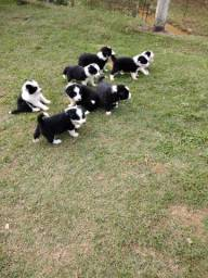 Border collie estrutura