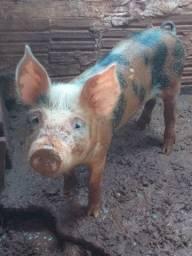 Vendo porco ou troco por algo do meu interesse