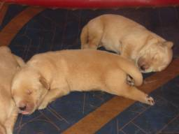 Filhotes de Golden Retriever c/Pedigree