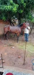 Vendo égua quarto de milha