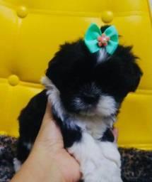 Princesinha Shitzu fêmea pequena