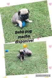Pug macho com pedigree