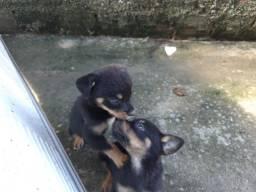 Rottweiler 35 dias