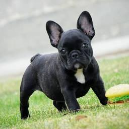 Lindos Bulldog, confira