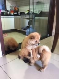 Filhotes Chow-Chow