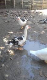 lote de patos!!70$