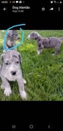 Dogue Alemão Fêmea 3 meses vermifugado e vacinado