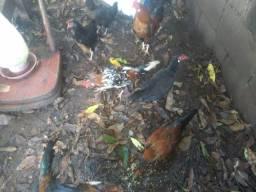 Vendo galos e galinhas Galinzé Garnizé