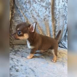 Chihuahua fêmeas e machinhos com garantias de vida e saúde
