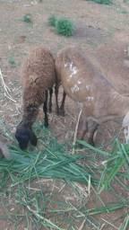 Vendo 2 ovelhas e um Cordeiro só R$950,00
