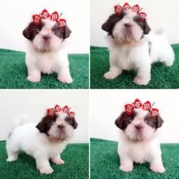 !!! Cuty cuty !!! Shitzu