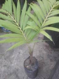Vendo 2 palmeiras ornamentais