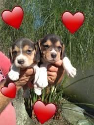 Beagle feminha