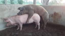 Vende-se 5 Porcas e 1 Reprodutor Animais com Procedência é Registrados
