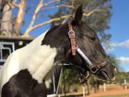 Potra paint horse pura