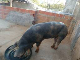 Porco Pietran puro (PO)