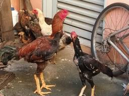Galo & galinha índio criar $340,00