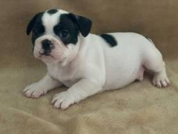 Bulldog francês machos e fêmeas disponíveis com garantias em contrato