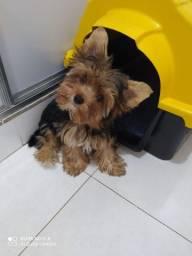 Vendo filhote Yorkshire Terrier Macho
