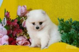 Título do anúncio: Lulu da Pomerania/Filhote