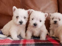 West Highland Terrier, disponiveis a prontra entrega