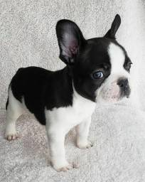 Bulldog Francês macho ja com microchip e vermifugado