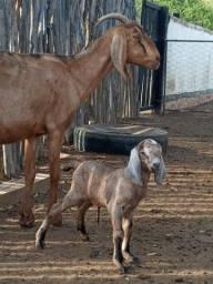 2 Cabras Anglonubianas paridas