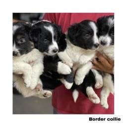 Border Collie com pedigree e microchip em até 12x