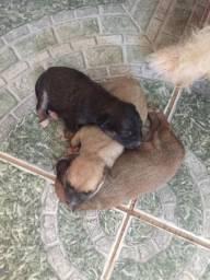 Filhotes de poodle de segundo grau. Por 60 reais