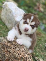 Husky siberiano com pedigree e microchip em ate 18x