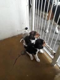 Cachorro beaglle