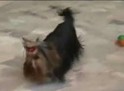 FILHOTE Yorkshire terrier PRIMEIRA LINHA valor oportunidade