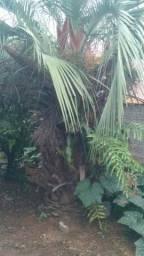 Palmeira butiá adulta