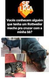 Procurando namorado pra Rottweiler