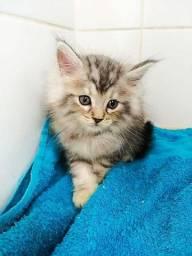 Lindos filhotes gato Maine Coon