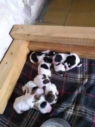 Vendo lindos filhotes de Lhasa Apso ( aceito reserva) 5 femia R$ 600,00 1 macho R$ 500,00