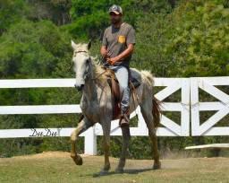 Cavalo castrado marcha picada mansinho em 20 parcelas