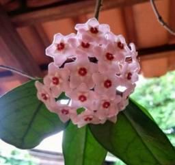 Mudas de FLOR DE CERA (Hoya carnosa)
