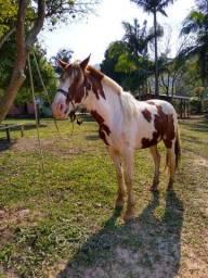 Vendo ou troco cavalo manga larga Machador