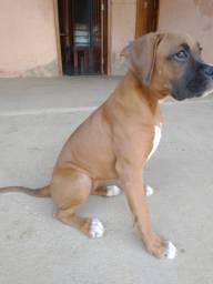 Filhote de Boxer