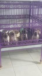 Pug bebês lindos c pedigree