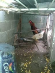 Galos e galinhas