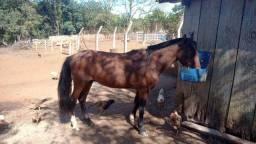 Vendo cavalo crioulo puro sinchador da barra mansa