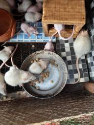 Doação camundongo, rato, twistter
