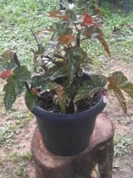 Begonia Asa de anjo 100$