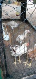 Vendo galinha  da raça indio gigante puro