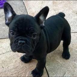 Bulldog Francês Fêmea e macho com garantia de vida e pureza em contrato